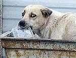 В Ужгороде из-за бешенства начали отстрел уличных собак шприцами с ядом