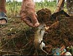 Год Крысы начался бумом продаж крысятины