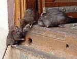 Численность крыс в Тернопольской области превысила значительно эпидемический порог