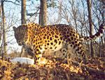 В Приморье тигр съел редкого леопарда