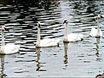 Житель Владикавказ украл в парке белых лебедей