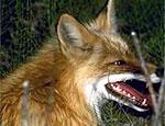 С начала года в Бендерах зарегистрировано два случая бешенства животных