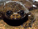 Ученые открыли лягушек без легких