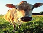 Коровы на Урале стали чаще страдать от бесплодия