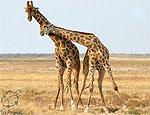 Жирафы поженились в бразильском зоопарке
