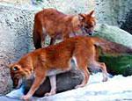 В омском зоопарке родились редчайшие красные волчата
