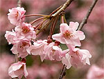 Японцы отправят в космос цветок сакуры