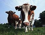 Бендерский молочный комбинат развивает собственную сырьевую базу