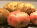 Екатеринбург отправил на Южный Урал опасный картофель