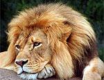 В Татарстане обнаружен лев, сбежавший из частного зоопарка