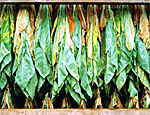 Урожай молдавского табака превысит прошлогодний показатель