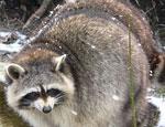 На Среднем Урале в спячку отправляются медведи, барсуки и еноты