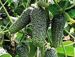 Отключение газа ударило по приднестровским производителям тепличных овощей