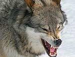 Урал: в окрестностях Полевского появились волки