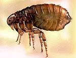 Блохи и другие насекомые могут стать смертельным оружием