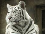 The Times: «Русская армия – Бумажный тигр»