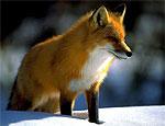 В Григориопольском районе начался отстрел волков и лис