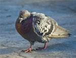 В одном из уральских городов начали массово умирать голуби, граждан попросили их подкормить