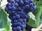 Одесские виноделы против законопроекта о повышении акцизного сбора на вина