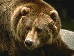 Карельский депутат застрелил человека на медвежьей охоте