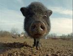 Свиной грипп захватывает все больше стран: уже более 100 умерших