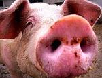 Украина может отменить запрет на ввоз мяса из США – «свиной грипп» от него не грозит