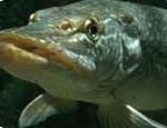 Платная рыбалка узаконена только на одном южноуральском озере