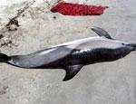 В Черном море от морбилливирусной инфекции гибнут дельфины (ФОТО)