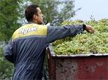 Приднестровские специалисты впервые получили урожай винограда немецкой селекции «Солярис»