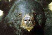 Медведь напал на туристов в Японии