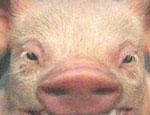 На Украине изобрели топливо из свиного жира