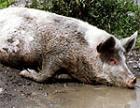 В Молдавии примут меры по защиты от африканской чумы свиней