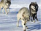 В Рыбницком районе идет охота на волков