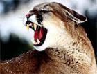 В Неваде готовы перестрелять пум ради спасения оленей