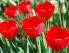 Центр Бендер лишился тюльпанов, высаженных ко Дню Победы