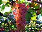 Молдавские ученые открыли препарат на основе семян винограда, помогающий лечить рак