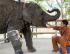 В Таиланде слонихе, подорвавшейся на мине, сделали протез ноги (ФОТО)