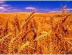 На Южном Урале вывели сорт пшеницы, из стеблей которой можно строить дома