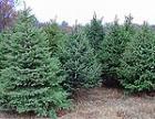 В этом году Приднестровье впервые откажется от импортных новогодних елок