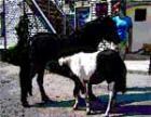 В выходные челябинцам покажут конкур с пони